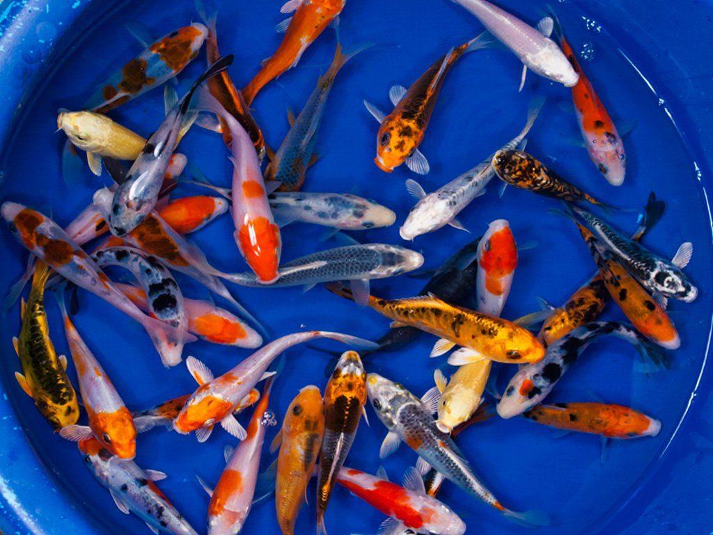 Jual Ikan Koi Harga Murah