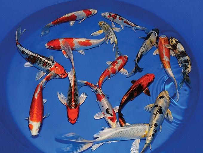 Harga Ikan Koi Murah Dan Terpercaya