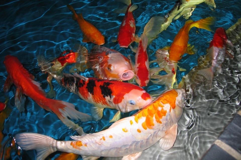 Grosir Ikan Koi Harga Murah