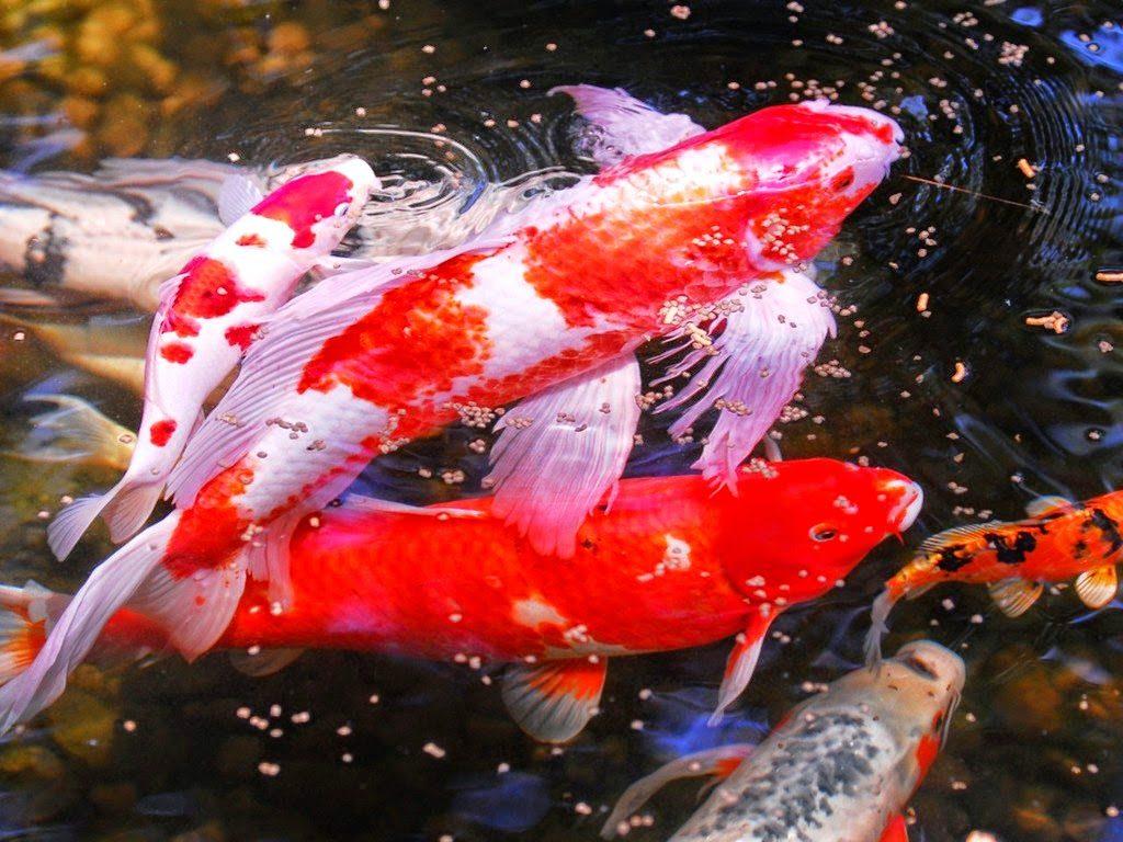 Jual Bibit Ikan Koi Kualitas Super