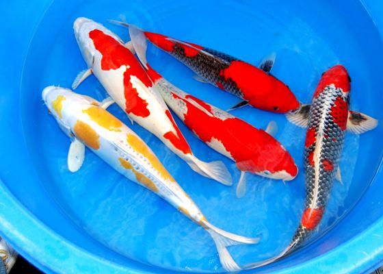 Harga Ikan Koi Semua Jenis Dan Ukuran