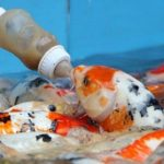 Ikan Koi Harga Murah Dan Berkualitas Unggulan