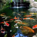 Tips Pemasaran Ikan Koi Dengan Mudah Dan Hasil Memuaskan