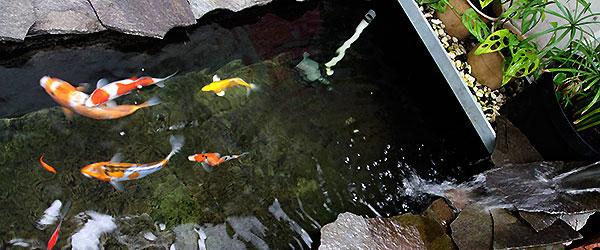 Strategi Pemasaran Ikan Koi Terbaik Dan Mudah