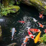 Tips Jitu Budidaya Ikan Koi Agar Sukses
