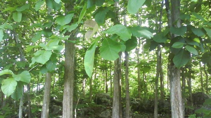 Bibit Pohon Jati Putih Siap Kirim Seluruh Indonesia